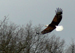 Soaring Eagle caught by Lee.
